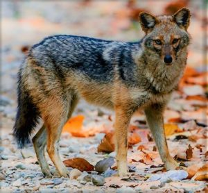Golden Jackal By Koshyk (https://www.flickr.com/photos/kkoshy/8586791531/) [CC BY-SA 2.0 (https://creativecommons.org/licenses/by-sa/2.0)], via Wikimedia Commons