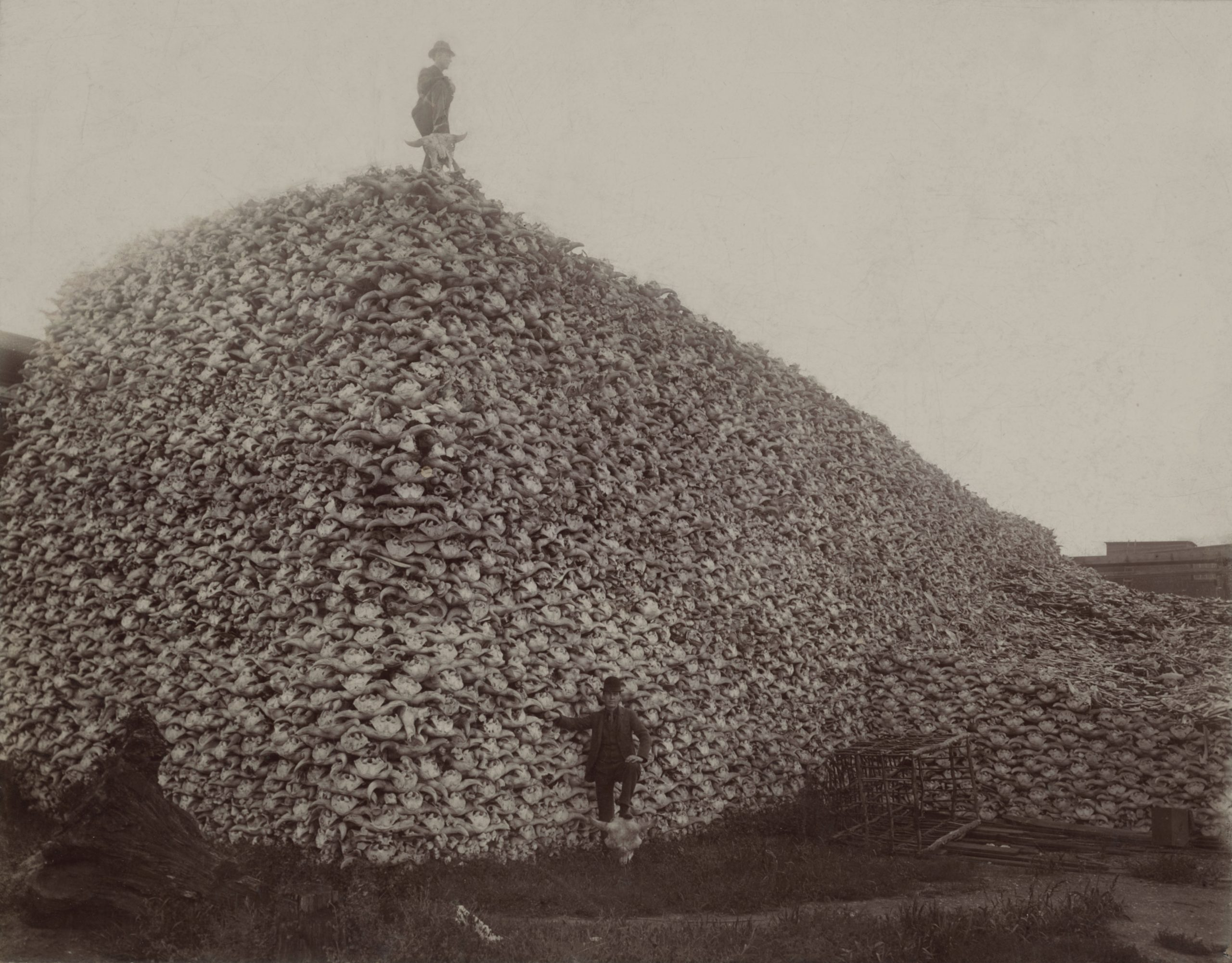 Mountain of bison skulls